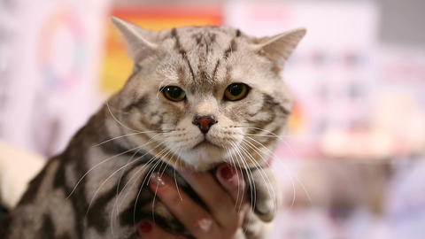 Sleepy tired Scottish Fold cat sitting in owner's hands at pet exhibition ภาพวิดีโอ