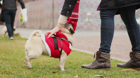 Female master petting cute fawn pug wearing funny dog coat, nice canine fashion Footage