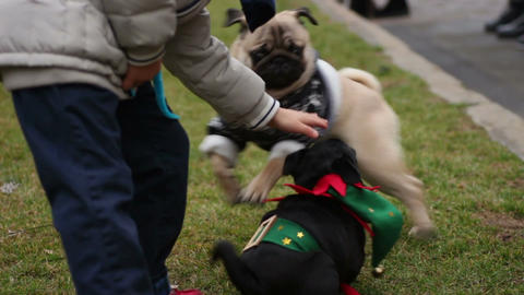 Excited fawn pug playing actively with little scared puppy, playful animals Footage
