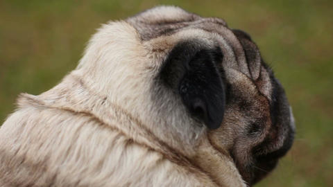 Back view of unhappy old dog breathing heavily, tired animal suffering disease Live Action