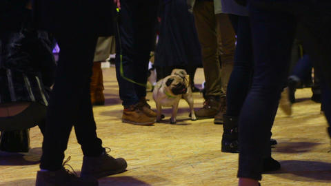 Crowd of people having fun at dog owners party with pugs in adorable costumes Footage