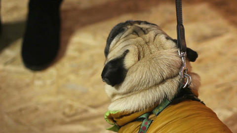 Pedigree dog wearing warm coat, nice pug walking on leash, faithful animal Footage