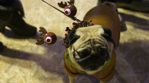 Fawn pug demonstrating nice Christmas costume at dog fashion boutique party Footage