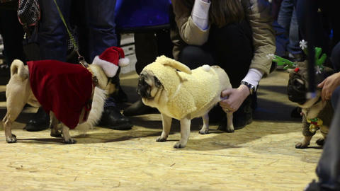 Dog owners boasting of their pets wearing creative canine costumes at pug show Footage