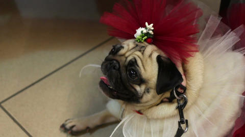 Funny fawn pug in fancy dress and accessories, dog's fashion, canine clothing Footage
