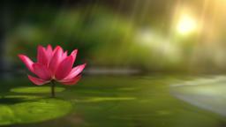 Lotus Background (5) Animation