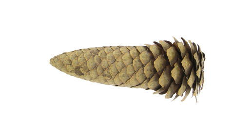 Time-lapse of opening fir tree cone, 4K format Footage