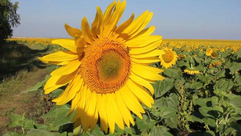 MVI 8575 sunflower summer contrast beautiful space large single flowerbed cumulu Footage
