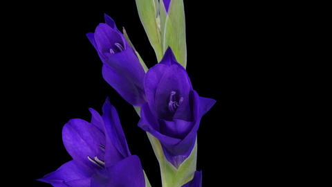 Time-lapse of opening purple gladiolus flower with ALPHA 이미지