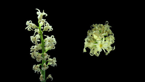 Time-lapse dying white hyacinth Christmas flower in RGB + ALPHA matte format Footage