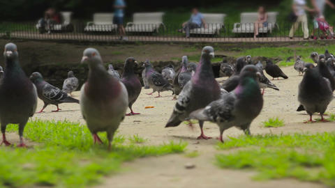 A flock of pigeons walks the ground Footage