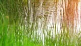 grass in the swamp Footage