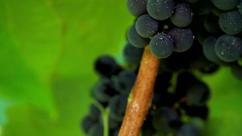 Grapes in sunlight. shot slider Stock Video Footage