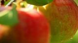 Apples on a branch. shot slider Footage