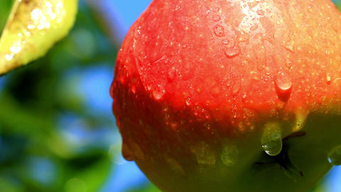 Apples on a branch Stock Video Footage