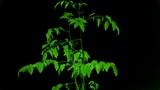 Lush tomato seedlings & flowers Animation