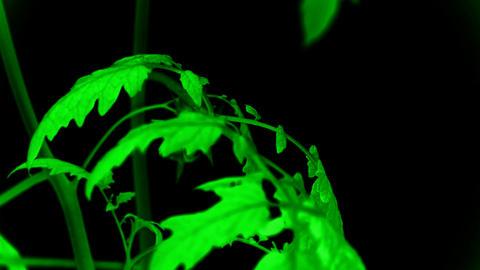 Lush tomato seedlings & flowers Stock Video Footage