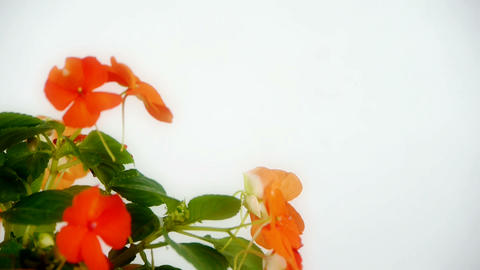 Rotation of beautiful flower blossoms Stock Video Footage