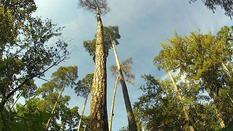 pine trees 1 Stock Video Footage