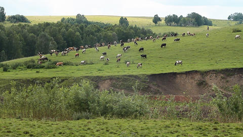 The Cows and oxens Stock Video Footage