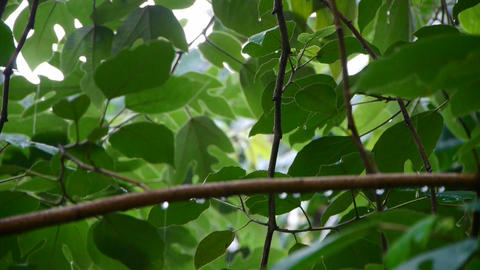 Tree in rain,lush foliage leaves Stock Video Footage