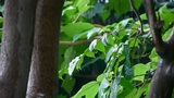 Tree in rain,lush foliage leaves Footage