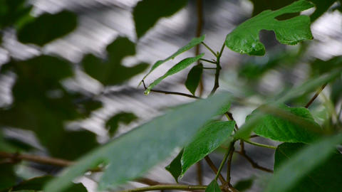 Tree in rain,lush foliage leaves,rain hit eaves on roof Stock Video Footage