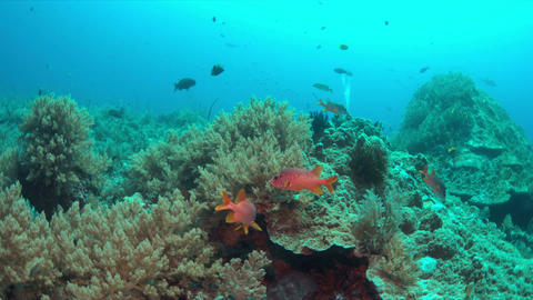 Squirrelfishes on a coral reef Live Action