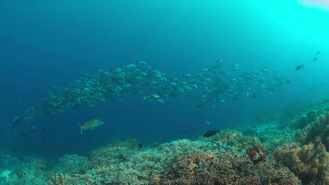 4k School of Black Snapper on a coral reef Live Action