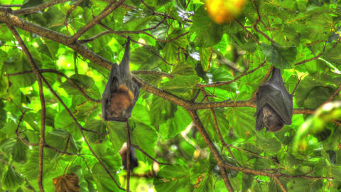 Flying foxes hangs on a tree branch and washes Live Action