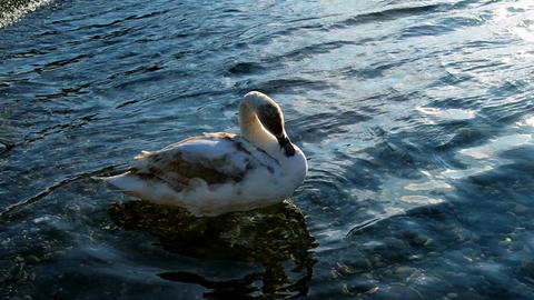 White swan swims near the shore of the sea Footage