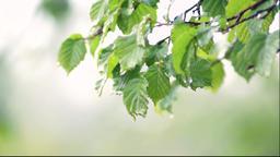 fresh green twig tree after rain Footage