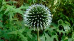 Ornamental thistle in the garden Footage