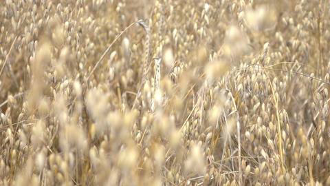 Video of oat field in real slow motion Footage