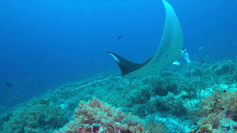 Manta ray on a coral reef 4k Live Action