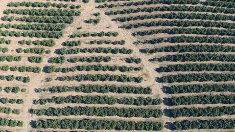 Aerial View Orange Trees Plantation Footage