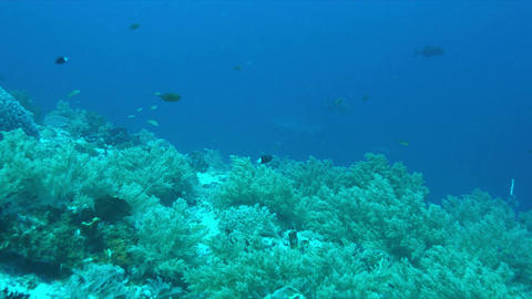 Silvertip Shark on a coral reef. 4k Footage