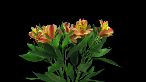 Time-lapse of opening yellow-red peruvian lily in RGB + ALPHA matte format Footage