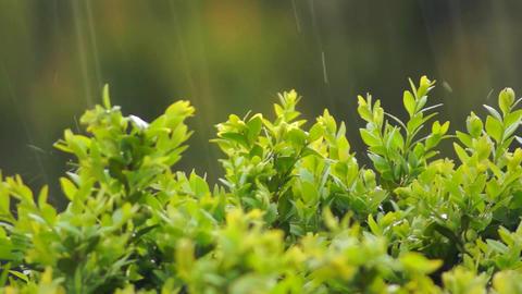rain on lush green shrubs in detail Live Action