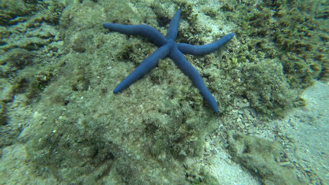 Blue and red starfish on corals underwater, 4k Footage