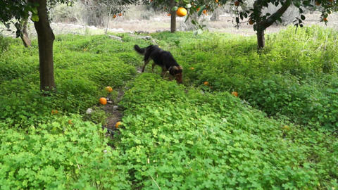 Dog in the orchard 2 Live Action