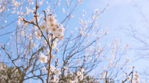 Japanease White Plum Flowers,in Showa Kinen Park,Tokyo,Japan,Filmed in 4K Footage
