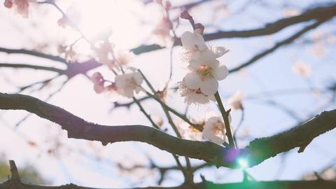 Japanease White Plum Flowers,in Showa Kinen Park,Tokyo,Japan,Filmed in 4K Filmmaterial