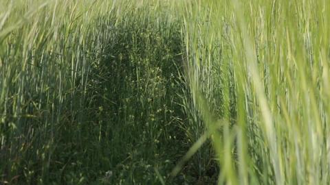 Path In A Wheat Field 01 Footage