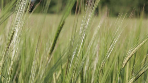 Green Wheat Spikelets close-up 02 Footage