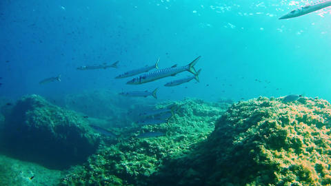 Barracudas - Diving in the Mediterranean Sea Footage