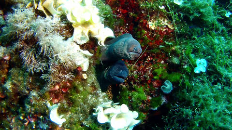 Underwater scene - two moray eel together in a reef Live Action