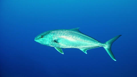 Diving in Spain - Amberjack fish alone in a very blue sea Live Action
