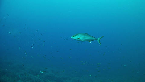 Amberjack School in the Mediterranean Sea Live Action