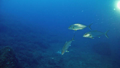 Amberjacks in Mediterranean Sea Live Action